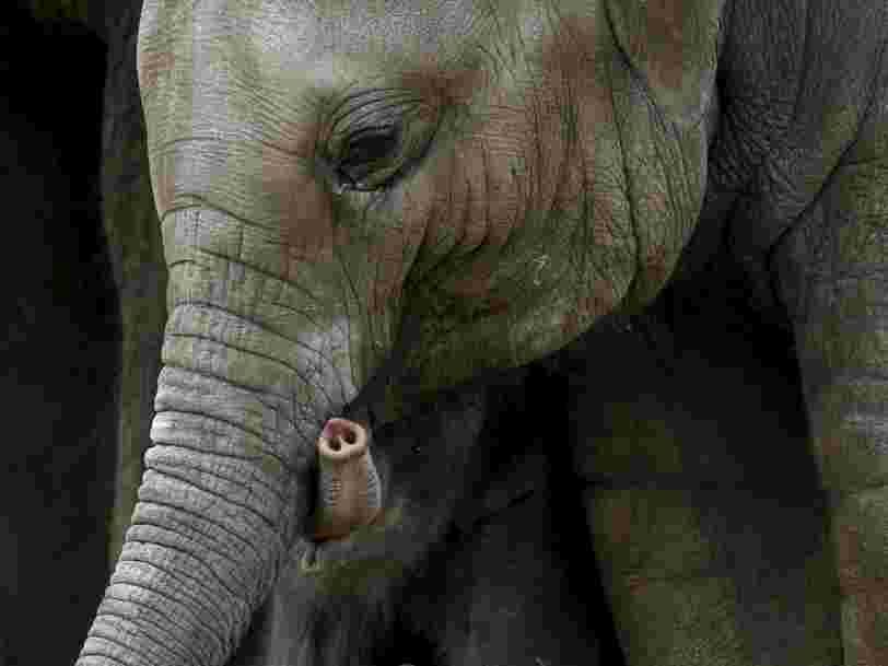 Les éléphants peuvent mesurer une quantité avec leur sens de l'odorat