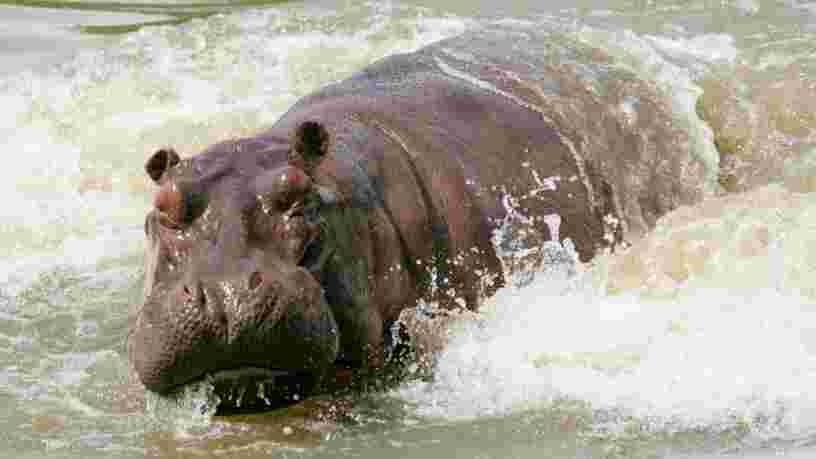 Les 'cocaïne hippos' de Pablo Escobar sont certes envahissants, mais ils sont aussi bénéfiques selon les scientifiques