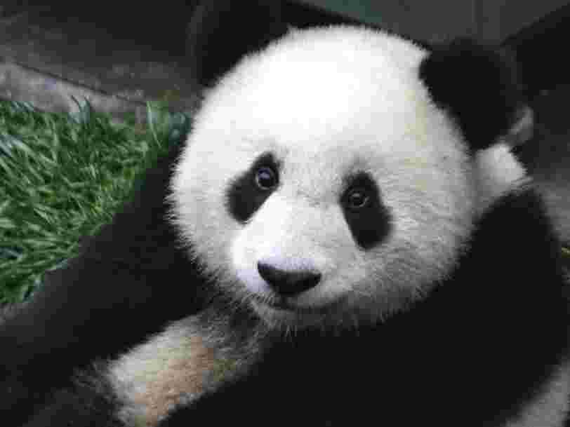 La reconnaissance faciale au secours des pandas géants