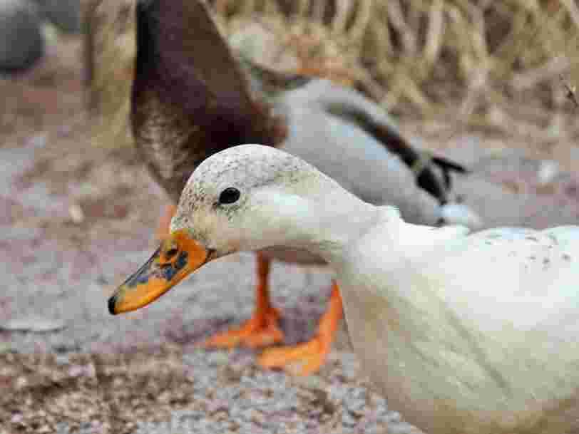 La grippe aviaire se propage dans le sud-ouest — le foie gras français ne pourra pas être exporté