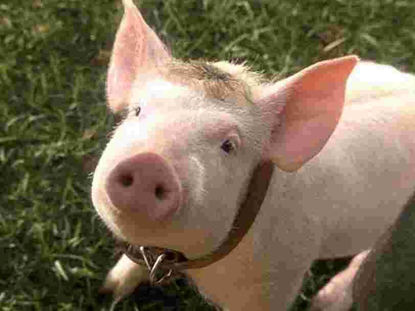 Des chercheurs ont réactivé les cellules de cerveaux de cochons décédés, et ça pourrait brouiller notre définition de la mort