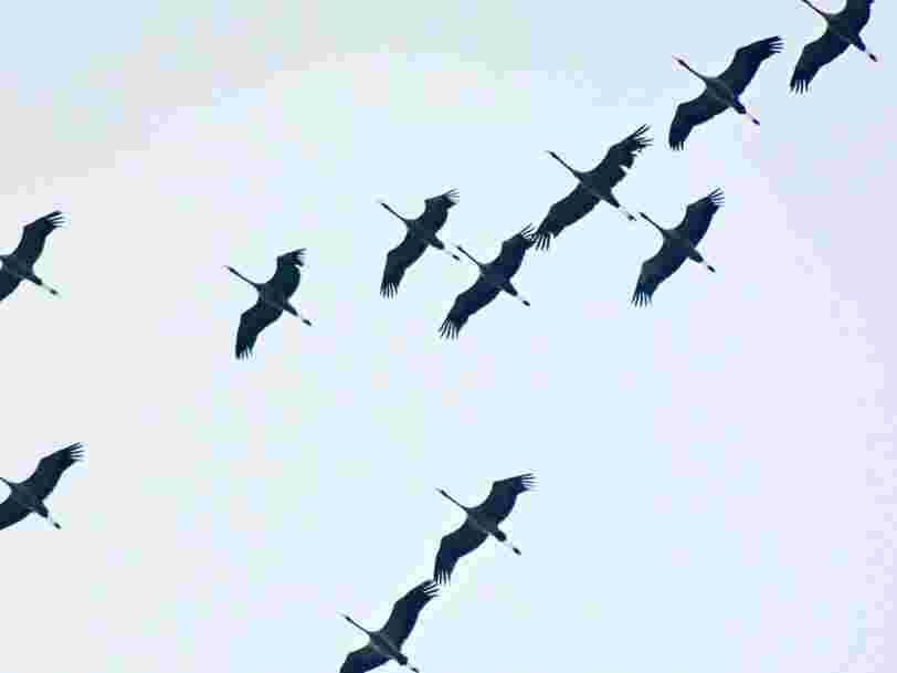 Envoyer des textos en avion peut être fatal pour les oiseaux migrateurs