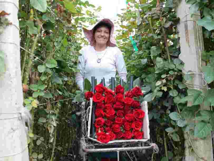 Saint-Valentin : découvrez comment les roses de Colombie inondent l'Europe et les Etats-Unis
