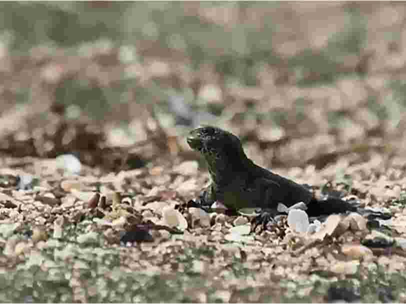 Cette vidéo haletante d'un lézard qui se bat contre une horde de serpents est devenue virale