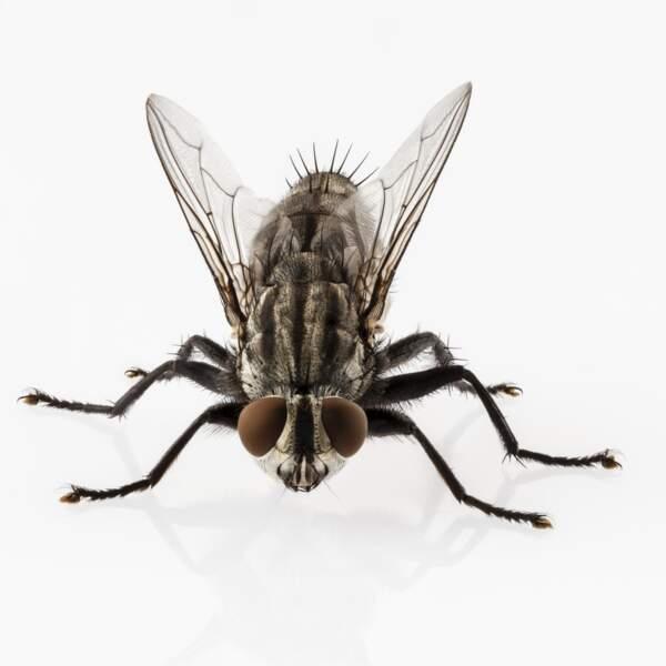 La mouche Sarcophaga est attirée par les odeurs de fermentation, entre 48 et 72 heures après le décès.