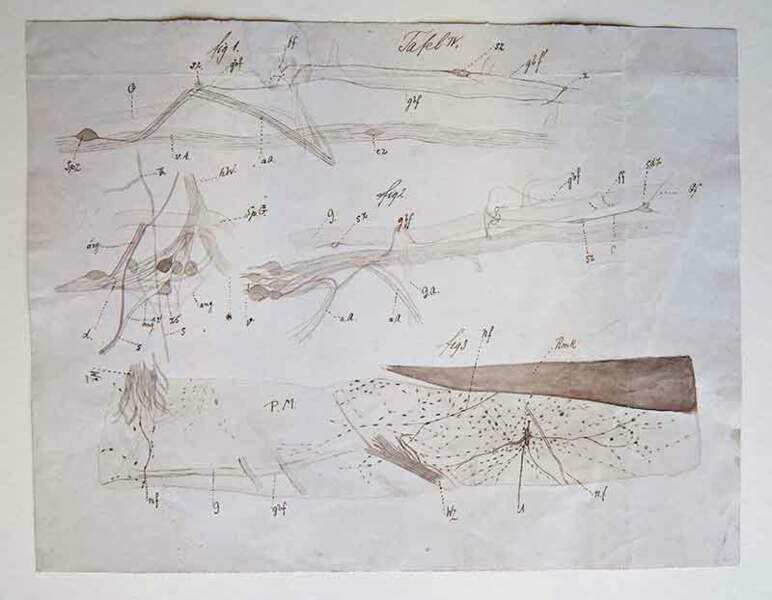 Ganglions spinaux et moelle épinière de la lamproie marine