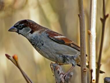 Les oiseaux qui disparaissent en France