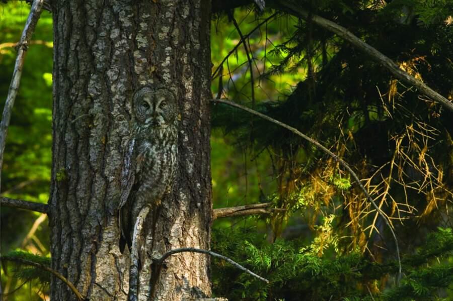 Chouette lapone (Oregon, USA)
