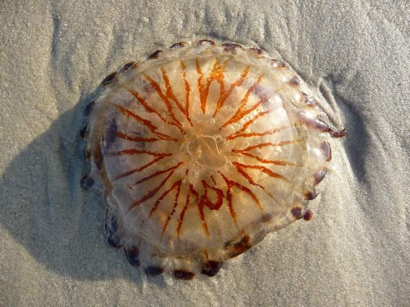 La piqûre de méduse