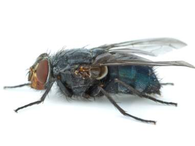 Qui sont les insectes qui donnent l'heure du crime ?