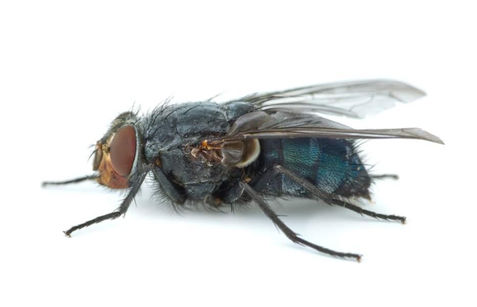 La mouche Calliphora vicina pond ses oeufs dans les plis du corps dès les premières minutes de la mort.