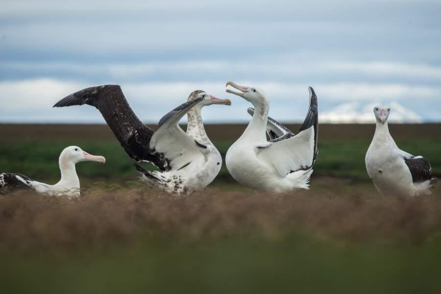 Albatros des Îles Kerguelen