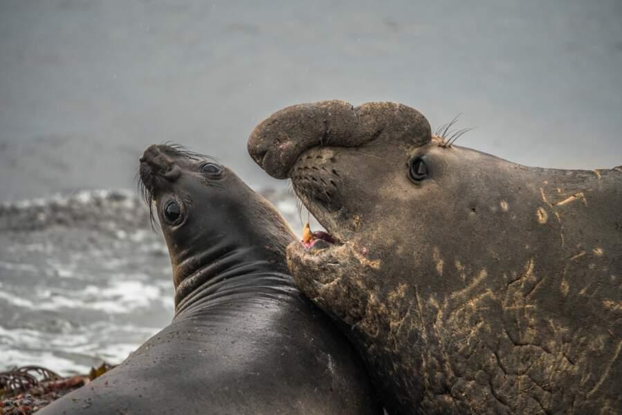 Éléphants de mer des Îles Kerguelen