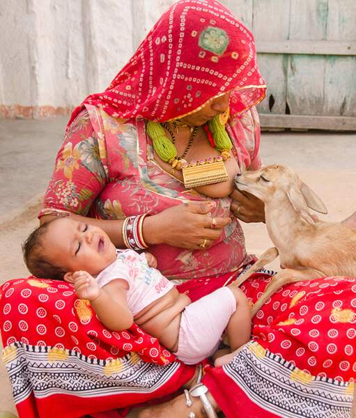 Les femmes de l'ethnie hindouiste des Bishnoïs sont connues pour allaiter les bébés gazelles orphelins