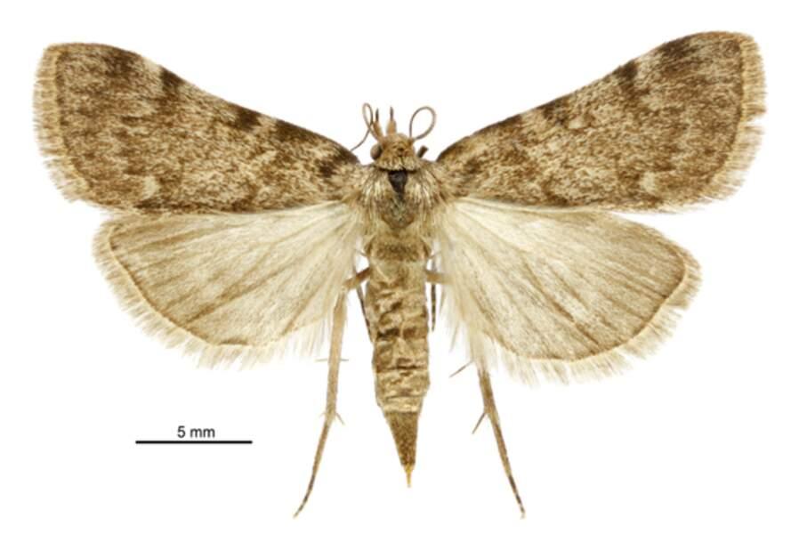 Le papillon Aglossa est très friand des graisses qui fermentent deux à trois mois après la mort.