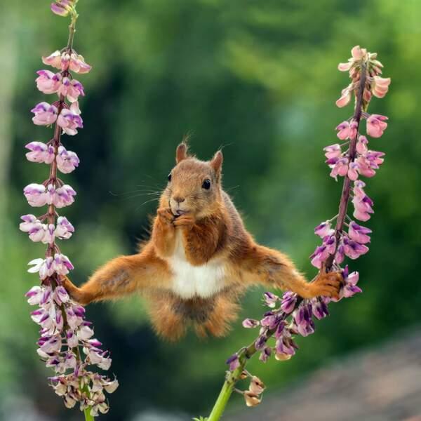 Une position quelque peu surprenante pour cet écureuil roux (Sciurus vulgaris)