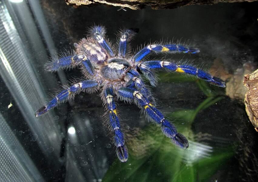 La mygale ornementale saphir