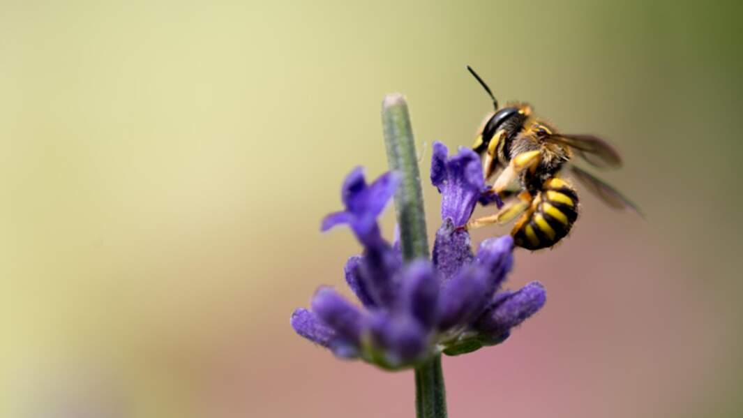 n°1 : L'abeille, superstar des sentinelles