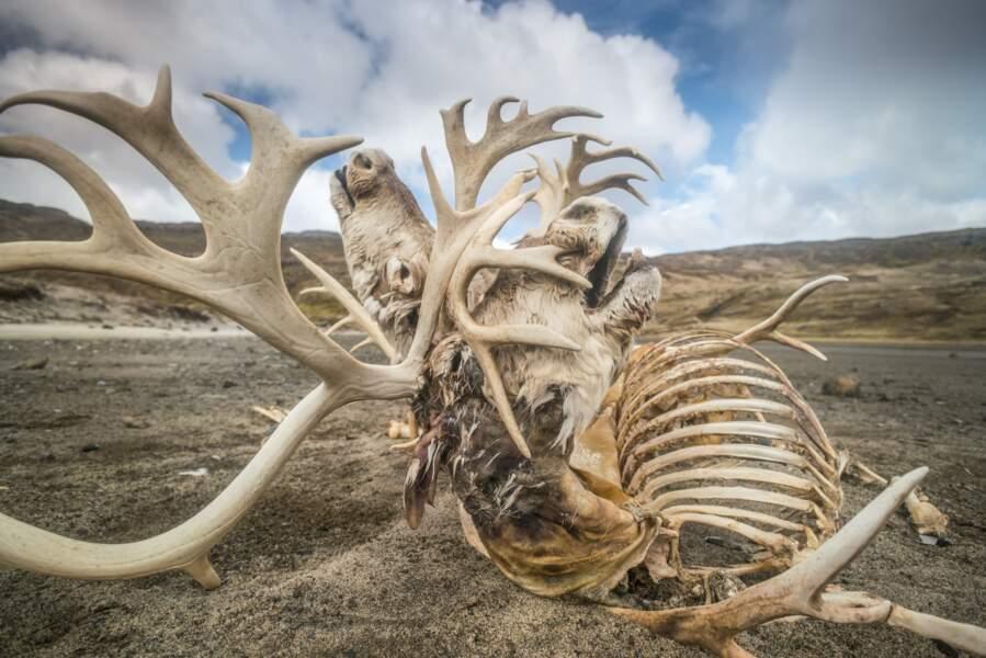 Squelette de rennes des Îles Kerguelen
