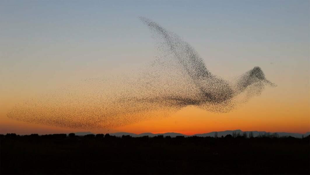 Ce spectaculaire vol d'étourneaux qui prend lui-même la forme d'un oiseau