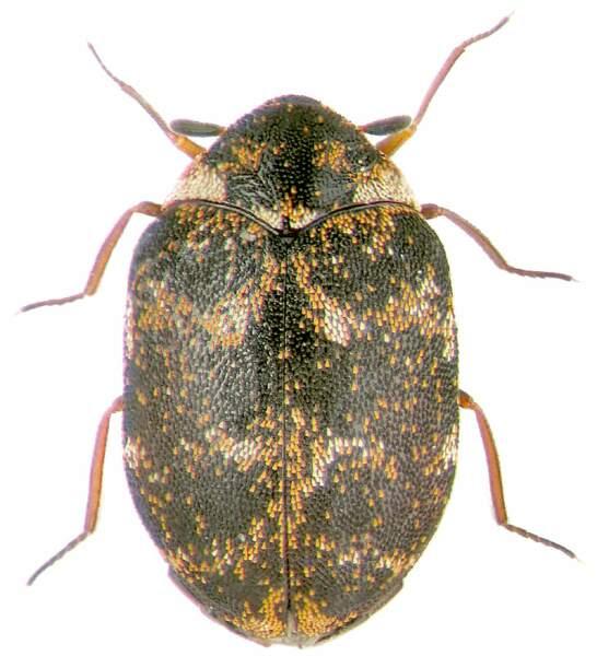 L'anthrène, petit coléoptère qui raffole de la kératine des poils, s'installe sur les corps morts au bout de 8 mois