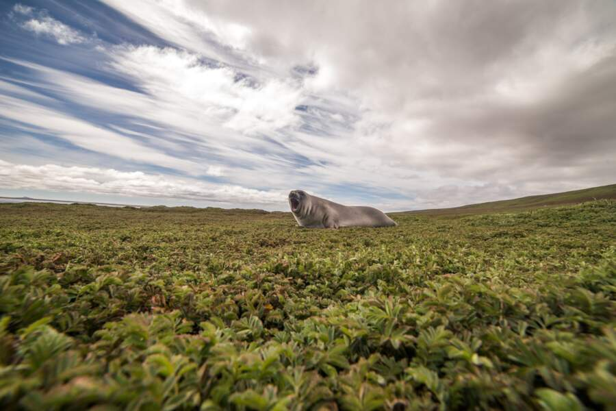 Éléphant de mer des Îles Kerguelen
