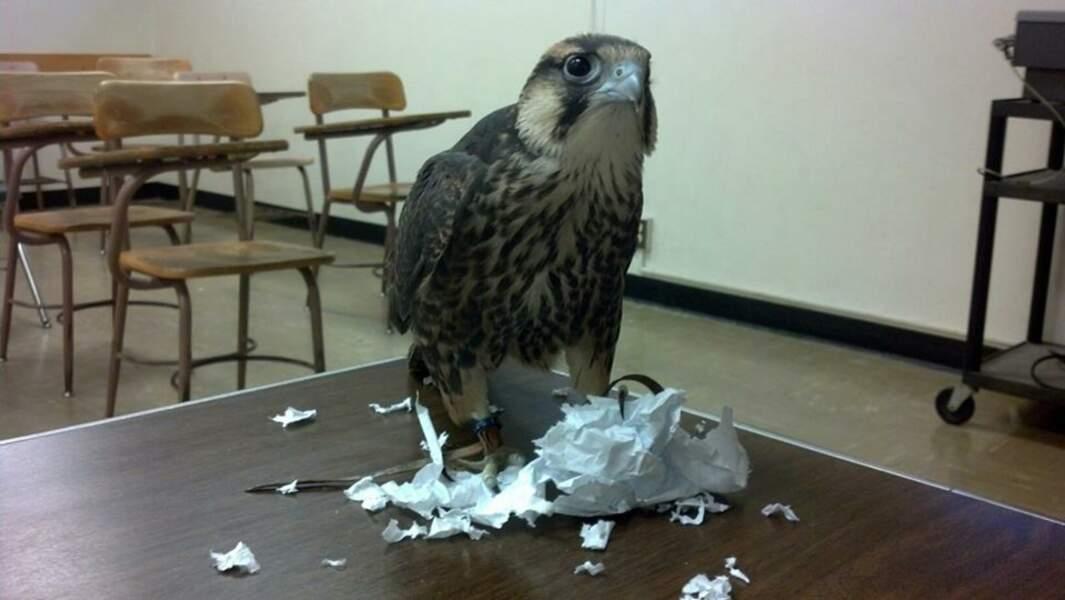 Désolé Monsieur le professeur, un faucon a mangé ma copie