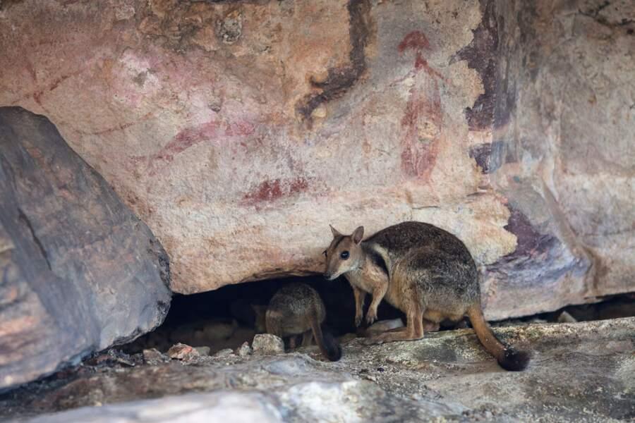Les wallabies des rochers (rock wallabies)