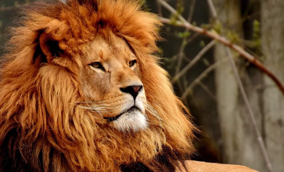 Lion : Un roi parfois homo