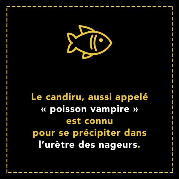 """Le candiru ou """"poisson vampire"""" est connu pour se précipiter dans l'urètre des nageurs"""