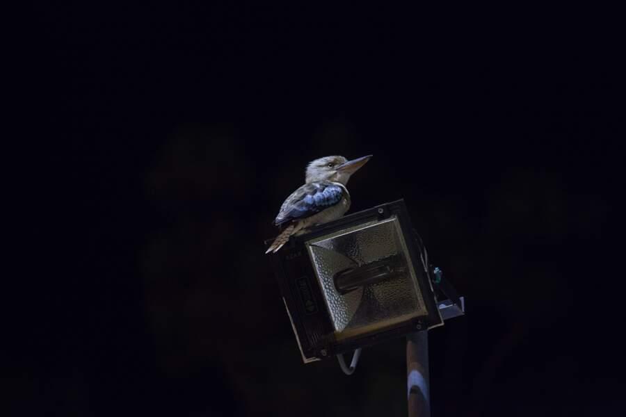 Le Kookaburra rieur (laughing Kookaburra)
