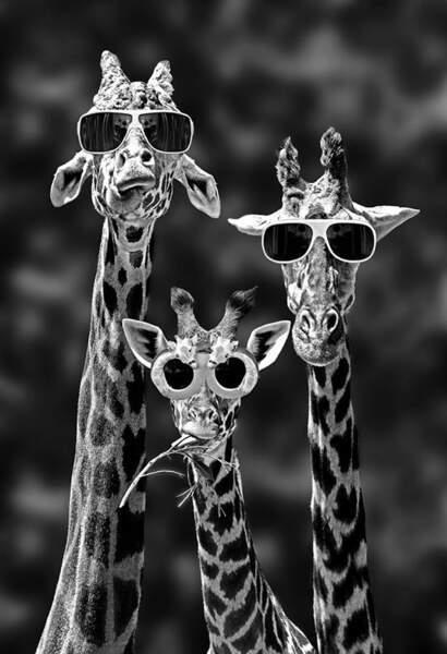 Girafes portant des lunettes