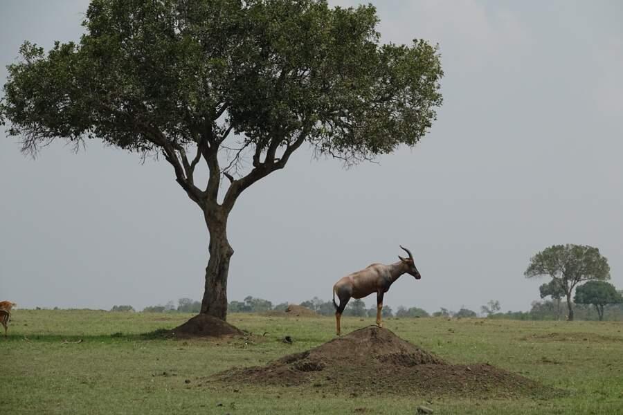 Antilope topi : Une dizaine de relations sexuelles en 24h