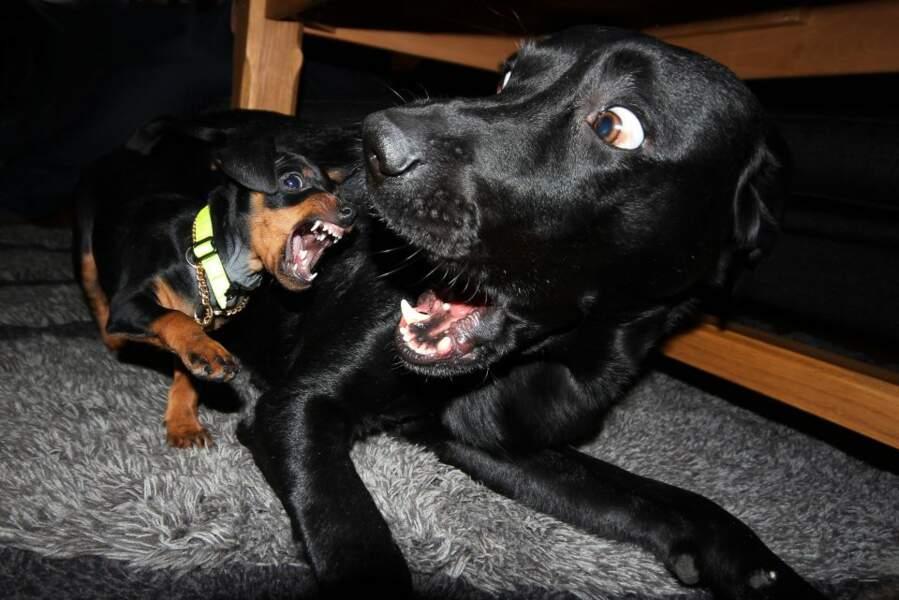 Chez les chiens, la taille ne compte pas