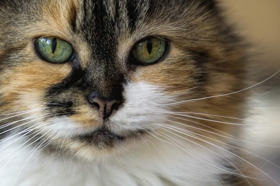 Les chats à poils longs sont en partie une création de l'homme