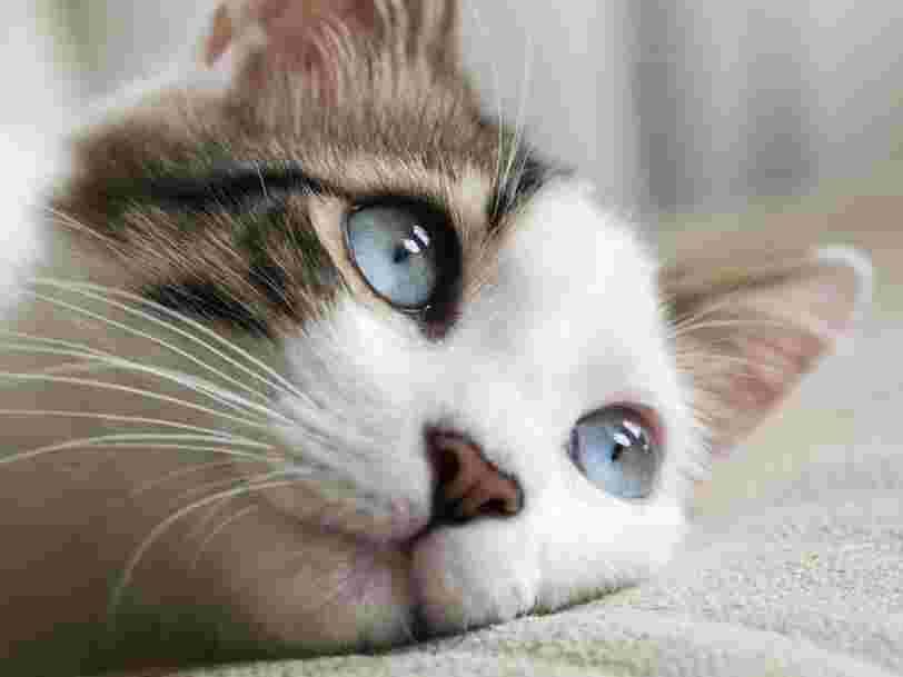 Les chats pourraient être infectés par le coronavirus sans présenter de symptômes
