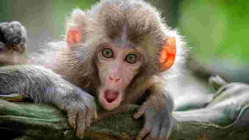 La Nasa a tué ses 27 singes au lieu de les placer dans une réserve