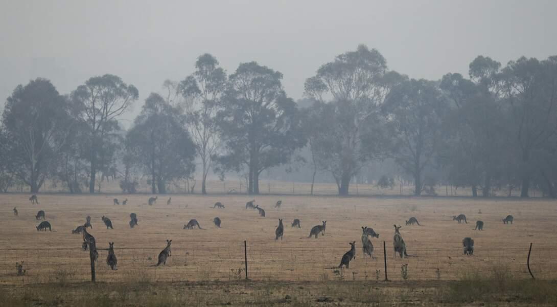 Les Kangourous tentent de survivre