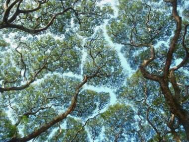 La timidité des arbres : un phénomène mystérieux mais fascinant !