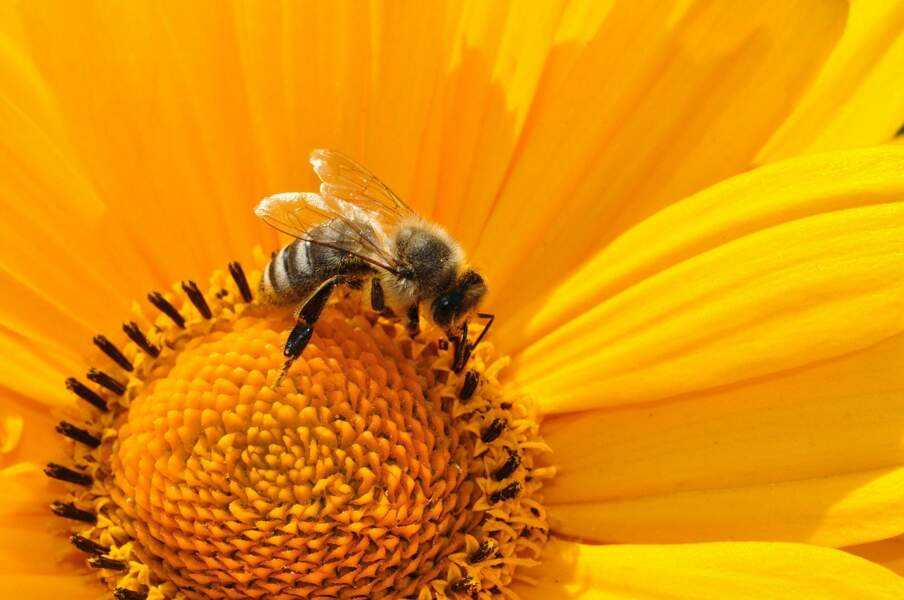 Les piqûres d'abeille