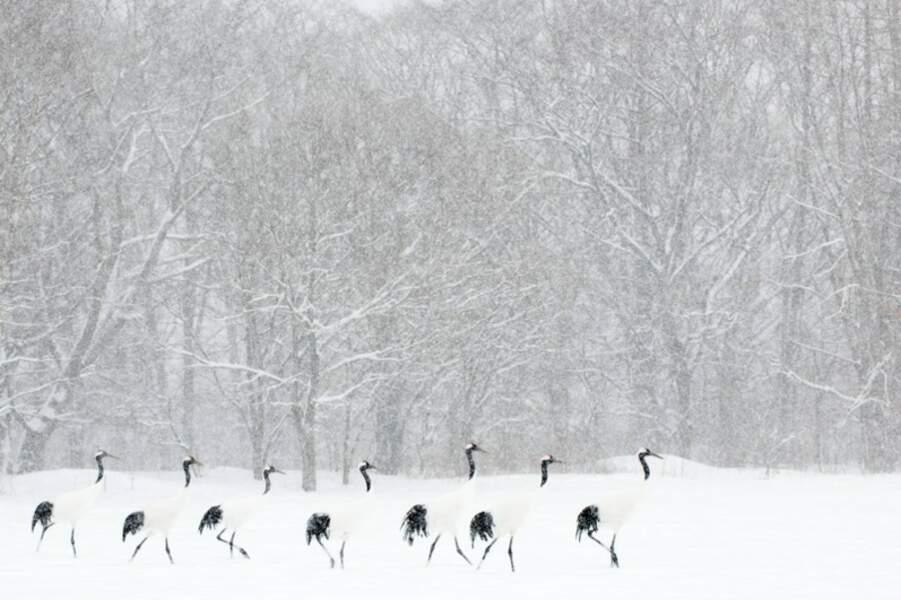 Grues du Japon marchant en ligne en face d'une forêt pendant une tempIête de neige