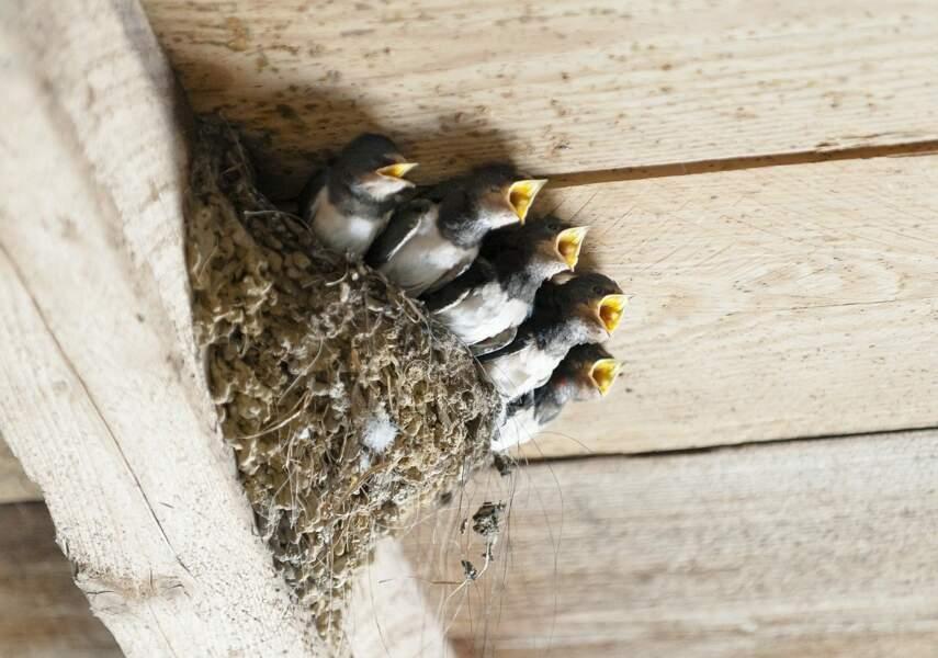 Des nids pour les hirondelles
