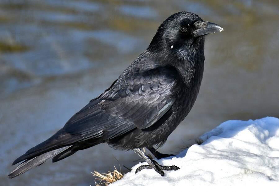 Les corbeaux fabriquent des outils