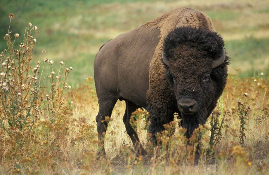 Les bisons, ces démocrates