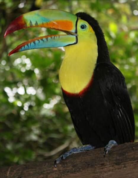 Le toucan à carène