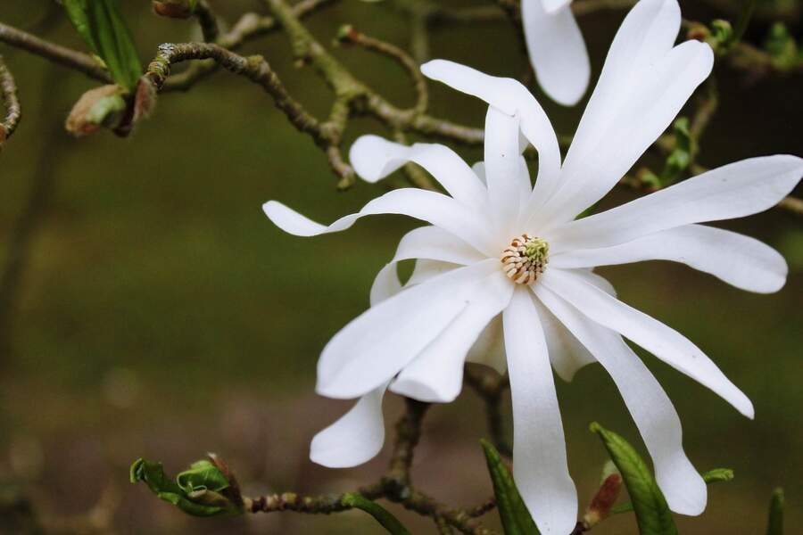 Le saule blanc apaise les rhumatismes inflammatoires