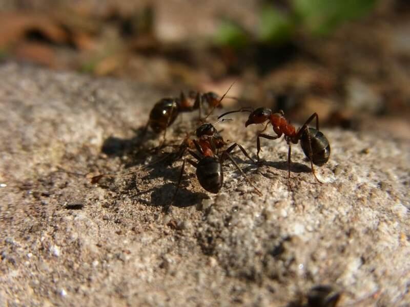 Les fourmis rousses font voyager les graines