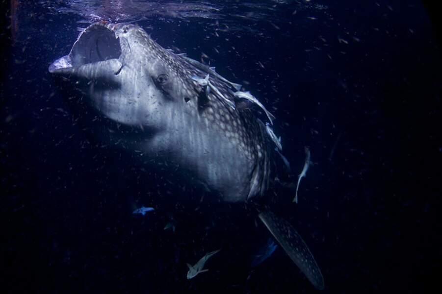 Le requin-baleine cache bien son âge