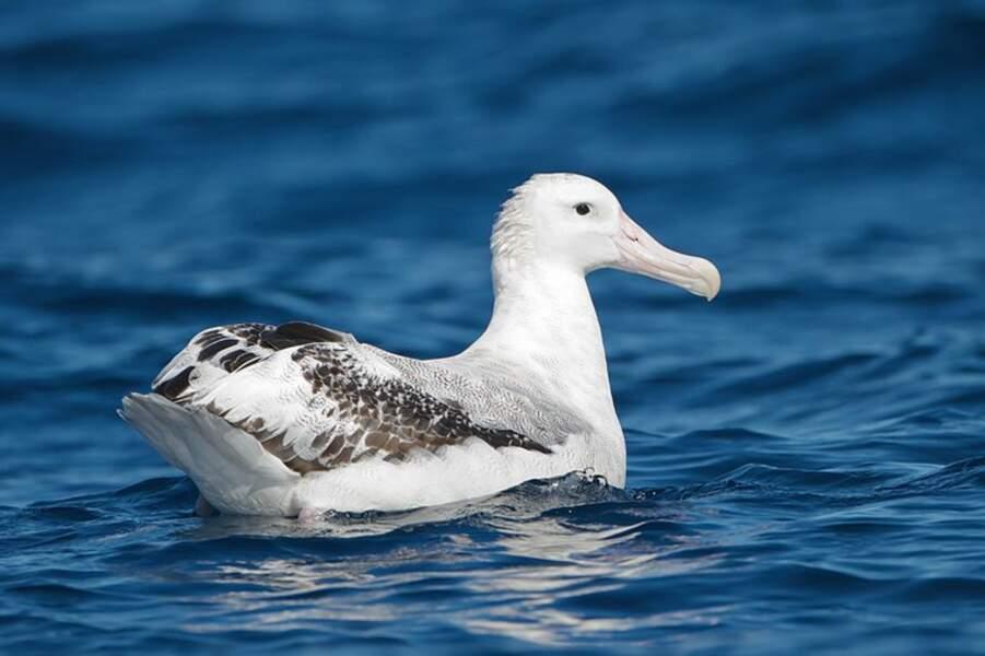 Les albatros, de super espions
