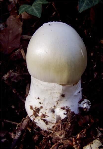 L'Amanite phalloïde jeune